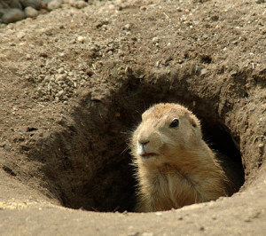 woodchuck in hole